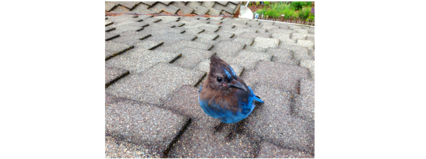 Stellar Jay on a solar rooftop installation